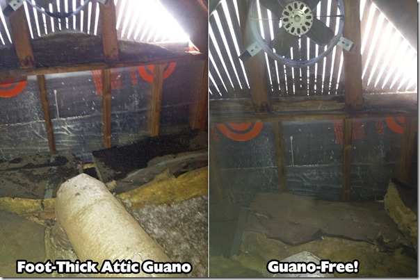 Bat Guano in an Attic