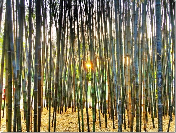 140401c Sunset Through the Bamboo