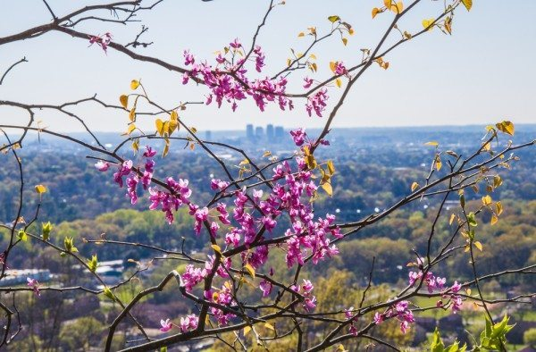 160321ALT-Ruffner-Mountain-City-Through-the-Flowers