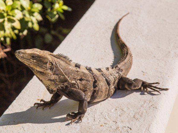 160505-Iguana-_MG_2547