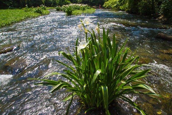 160524f-Cahaba-Lillies