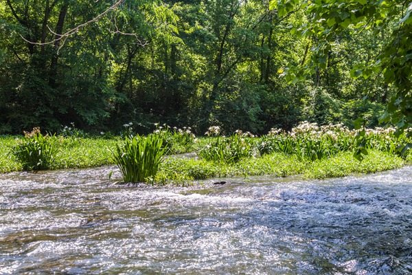 160524n-Searching-for-Cahaba-Lillies
