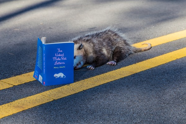 Possum-Reading-Naked-Mole-Rat